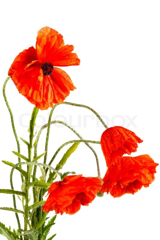 Flowers poppies isolated on a white background stock photo colourbox mightylinksfo