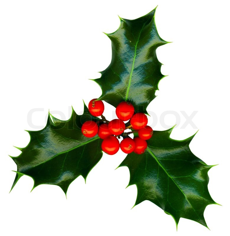 Clipping path a sprig of holly isolated on a white background | Stock ...