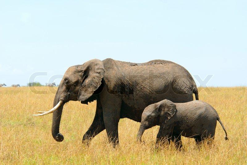 Afrikanische Elefanten Mutter und Kind   Stockfoto   Colourbox
