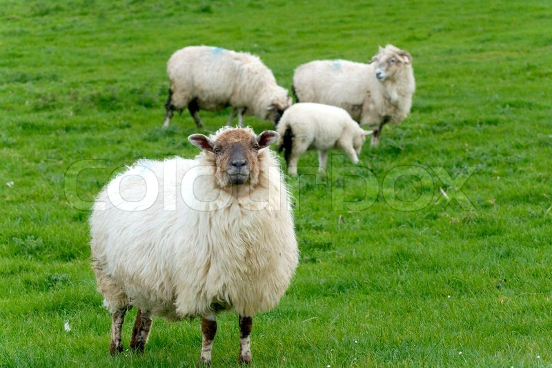 Irish Sheep Stock Photo Colourbox