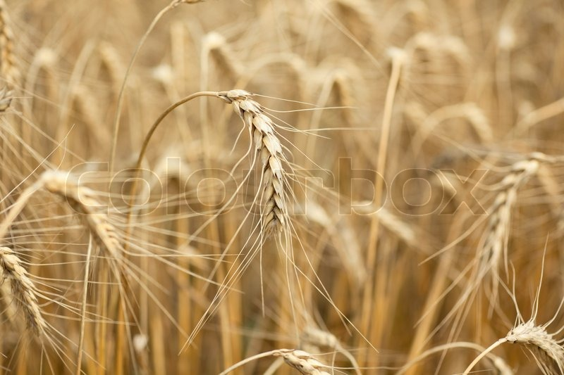 Stock image of 'Ear of wheat'