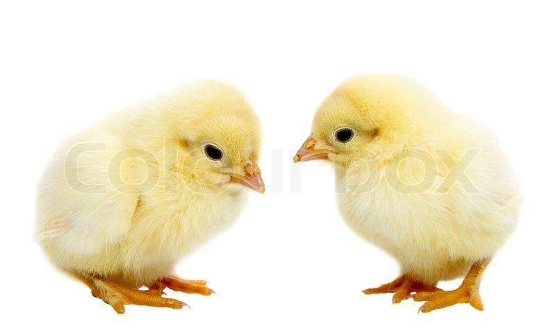 Baby Chickens | Stock Photo | Colourbox
