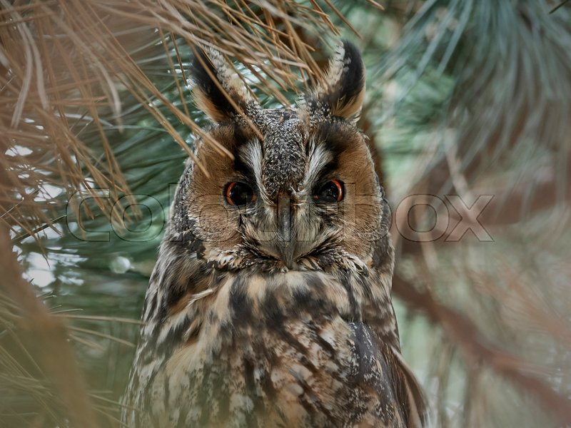 Stock foto af 'Long-eared owl (Asio otus)'