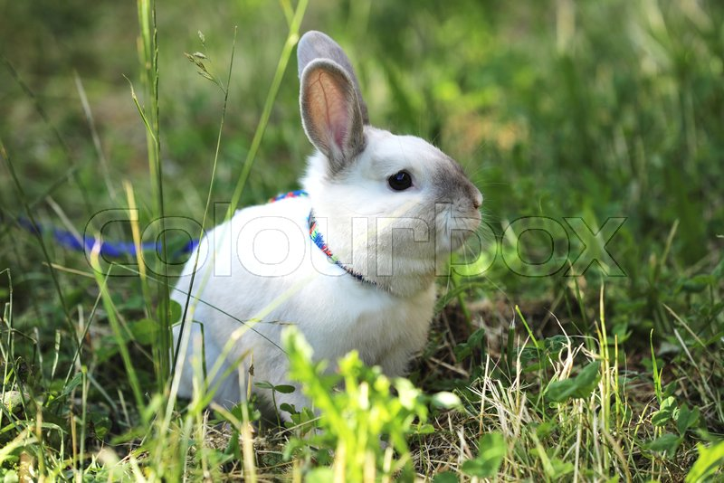 White rabbit with blue lead on the pasture, stock photo