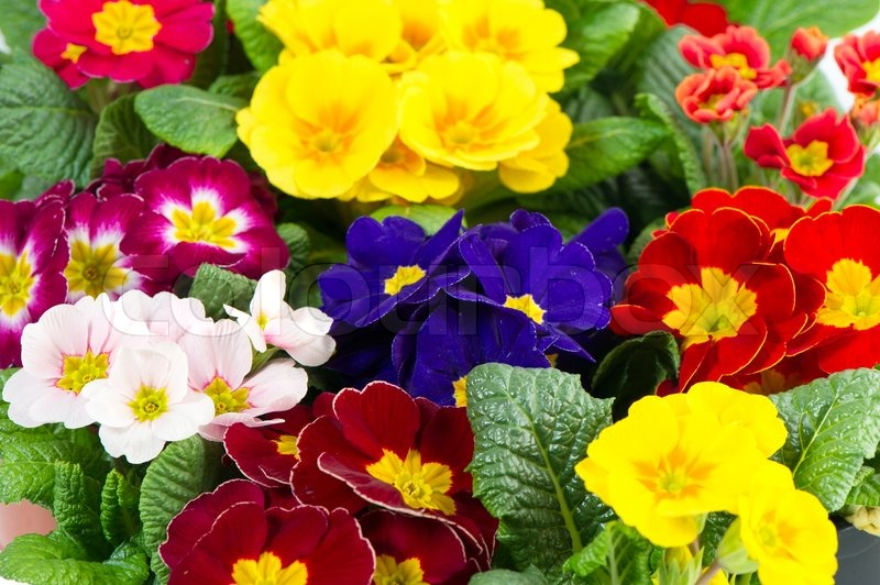 Colorful Fresh Spring Flowers Primula Stock Image Colourbox