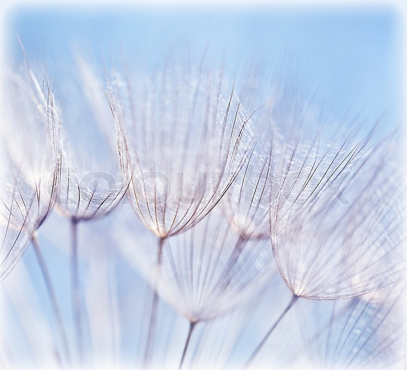 blue abstract dandelion flower background extreme closeup
