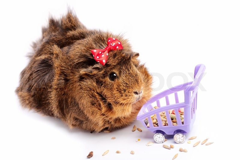 http://www.colourbox.com/preview/3588048-545913-shopping-funny-guinea-pig-portrait-over-white-background.jpg