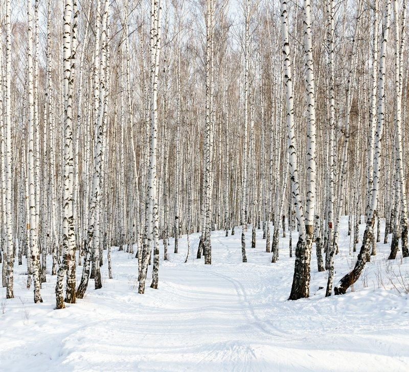 Birch forest in winter in bl mural hd walls find wallpapers