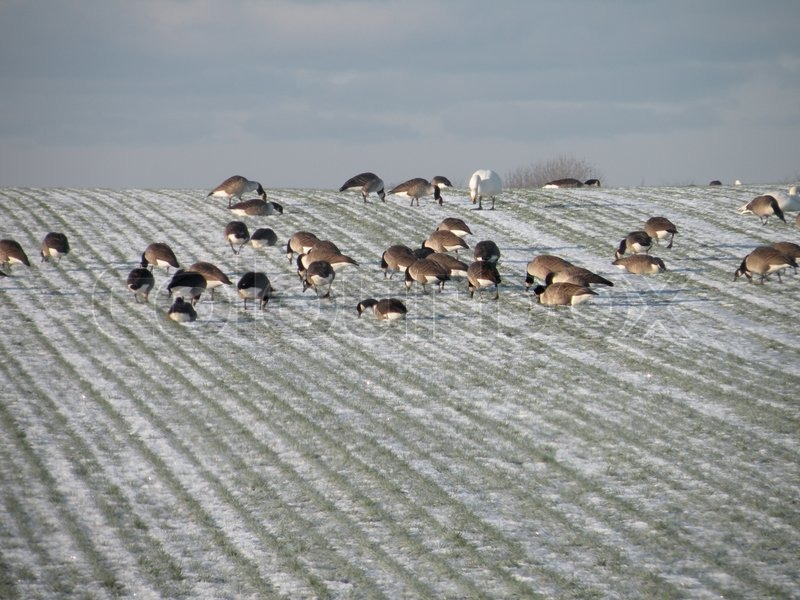 Stock image of 'Wild geese and swans on field in winter'