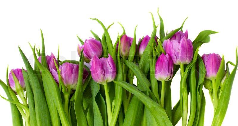 Purple tulips border   Stock Photo   Colourbox Tulips Clip Art Border