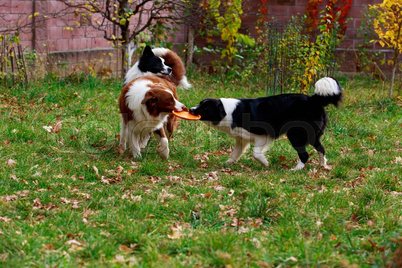 Three dogs of breed Border Collie playing in frisby on the garden, stock photo