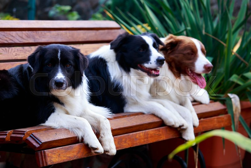 Three dogs of breed Border Collie on the bench in a garden, stock photo