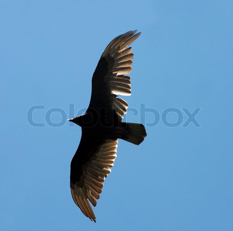 Flying eagle stock photo colourbox flying eagle stock photo altavistaventures Images