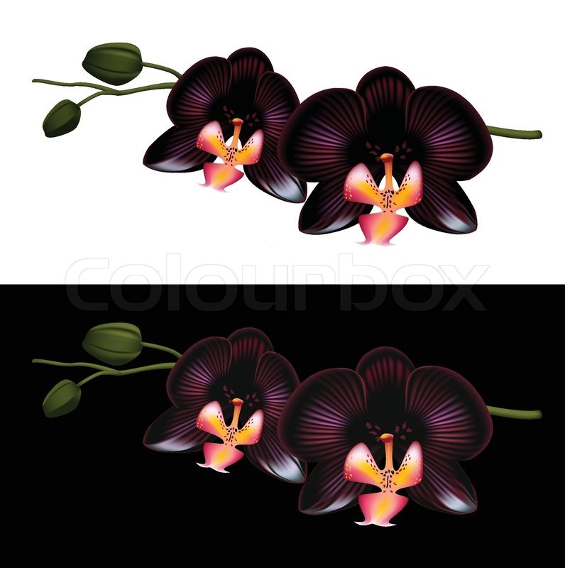 Black orchid | Stock Vector | Colourbox