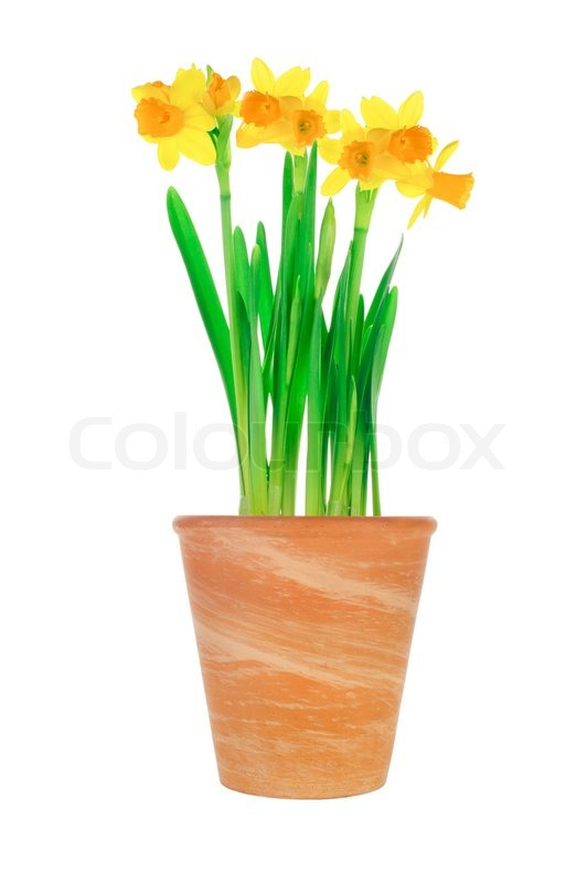 Garden flower pot with spring yellow narcissus daffodil isolated on garden flower pot with spring yellow narcissus daffodil isolated on white background stock photo colourbox mightylinksfo