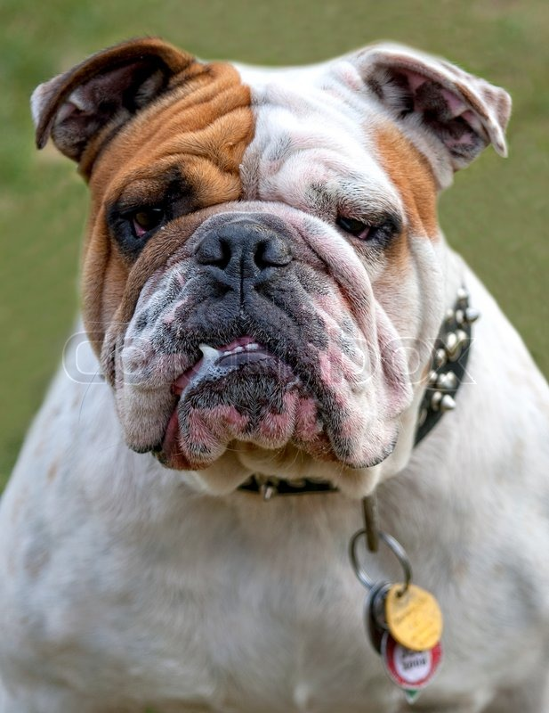 Displaying (18) Gallery Images For Ugly Bull Dog...