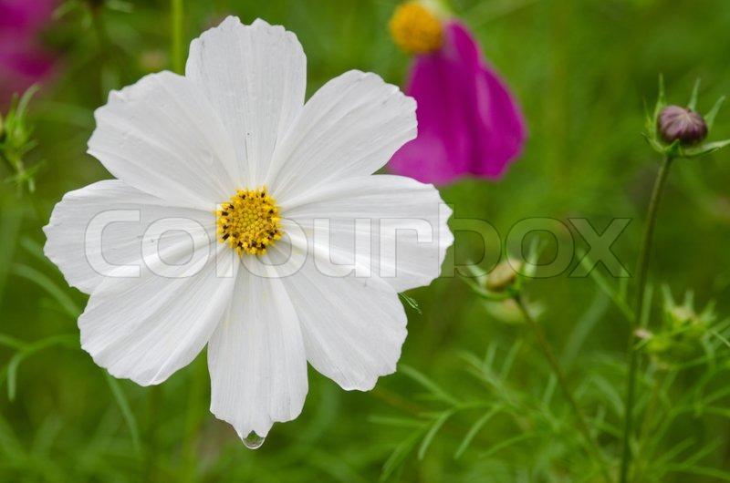 White cosmos flower stock photo colourbox mightylinksfo