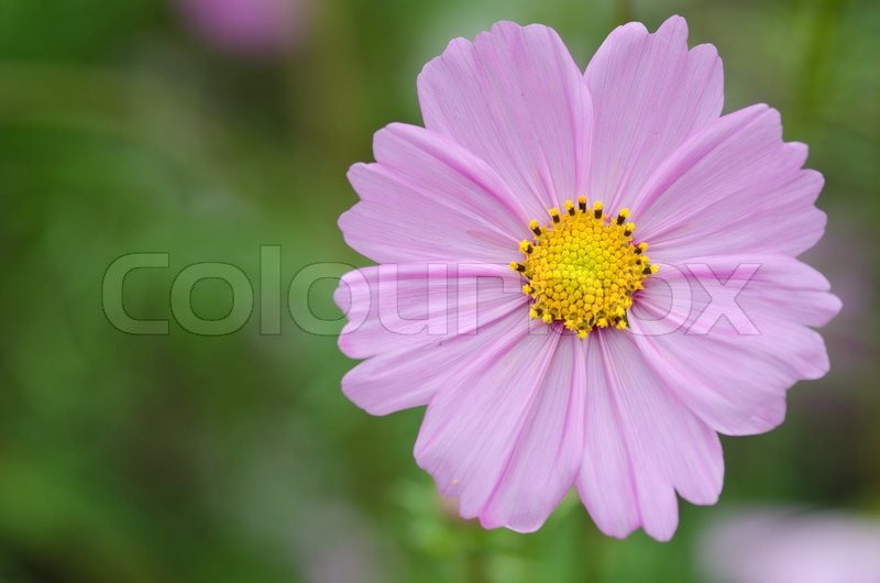 Single pink cosmos flower stock photo colourbox single pink cosmos flower stock photo mightylinksfo Image collections