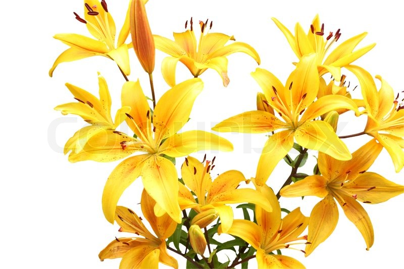 Stock image of 'Yellow lilies'
