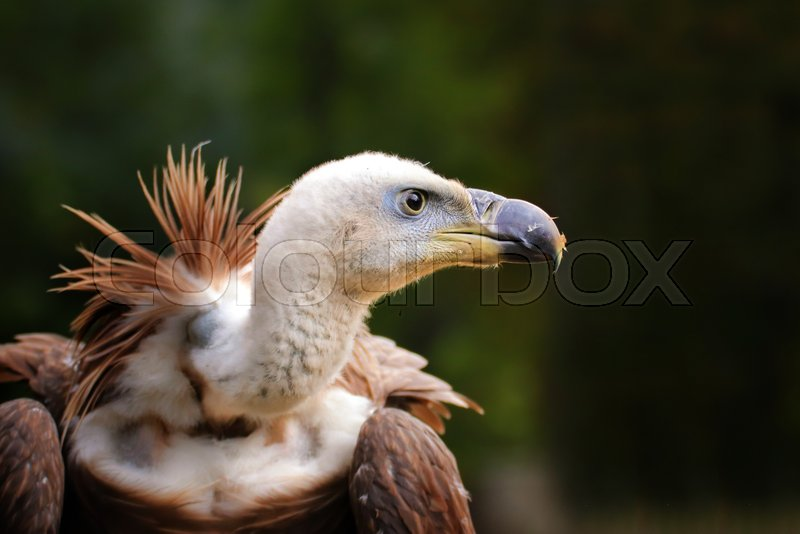 Stock image of 'Portrait of a griffon vulture living in captivity. Photo of the animal world. Detail face vulture on green background.'