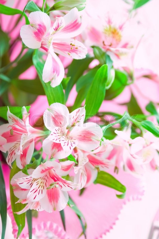 Closeup of pink lily flowers with soft focus floral design stock closeup of pink lily flowers with soft focus floral design stock photo colourbox mightylinksfo