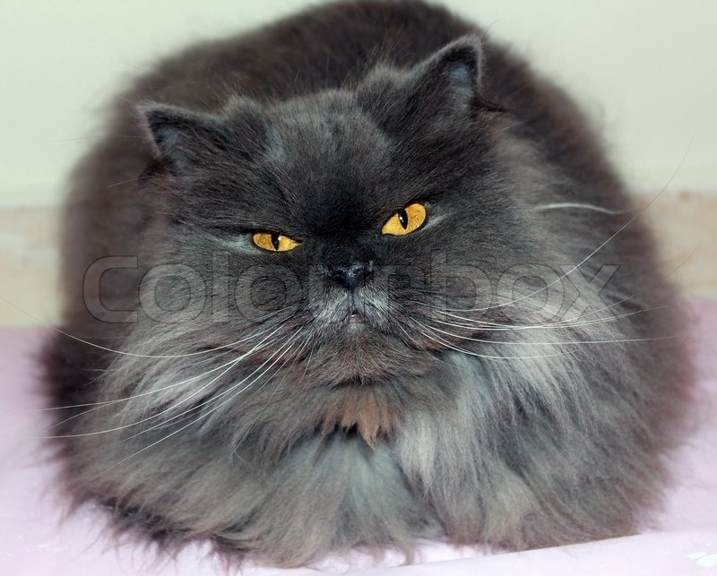 Smoky gray Persian cat | Stock Photo | Colourbox