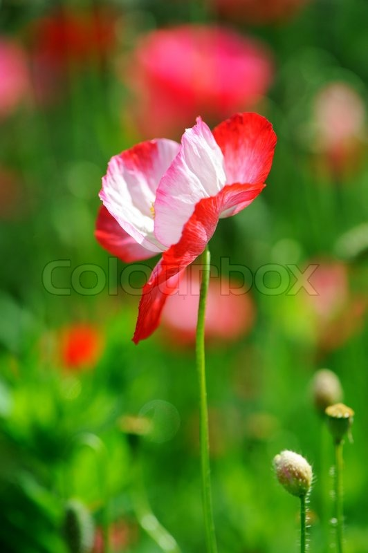 A red and white poppy flower stock photo colourbox mightylinksfo