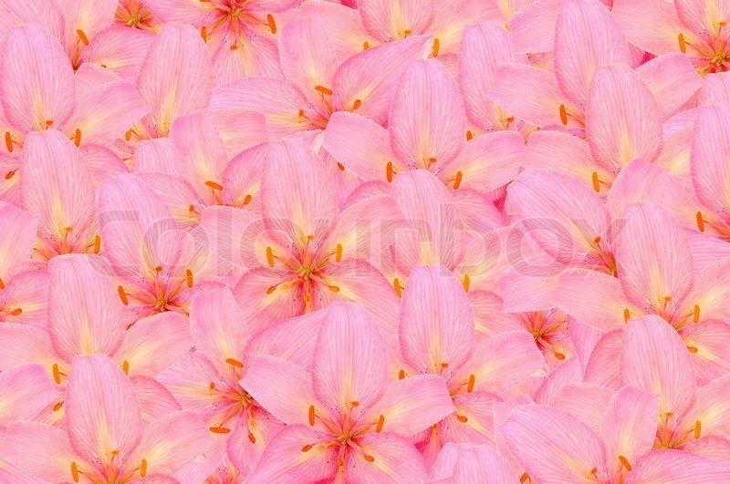 pink lilies beautiful girly background stock photo