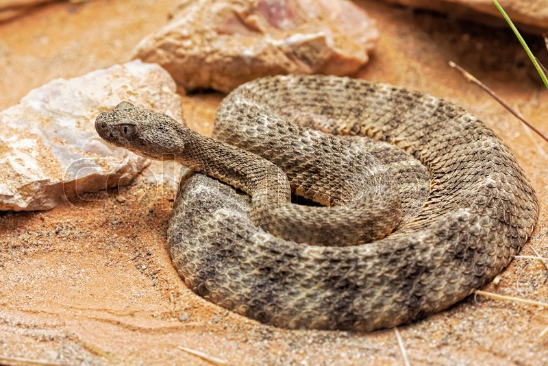 Tiger Rattlesnake Crotalus Tigris Is A Stock Image Colourbox