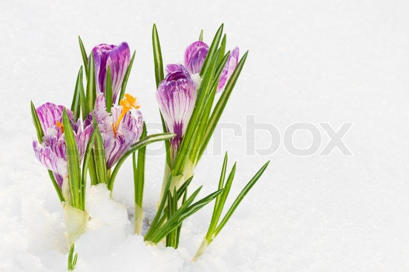 Fruhlingsblumen Krokus Im Schnee Stockfoto Colourbox