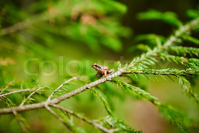Small brown frog sitting on firtree branch covered by bright green conifer in the forest, stock photo