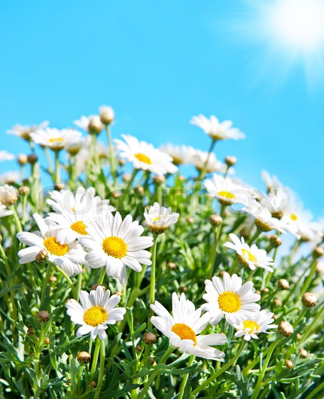 Stock image of 'daisy flowers on sunny blue sky'
