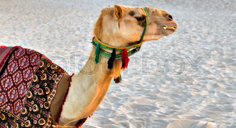 Camel desert animal with traditional Bedouin saddle , stock photo