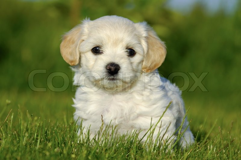 bichon havanais puppy dog stock photo colourbox