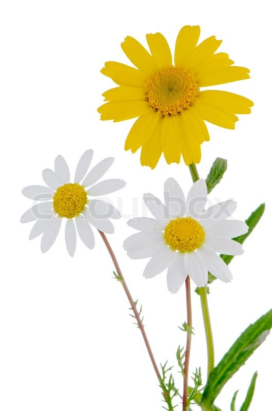 daisy flowers stock photo colourbox