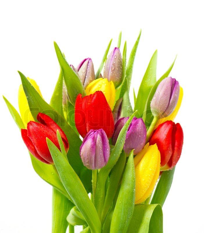 buy stock photos of tulip  colourbox, Beautiful flower