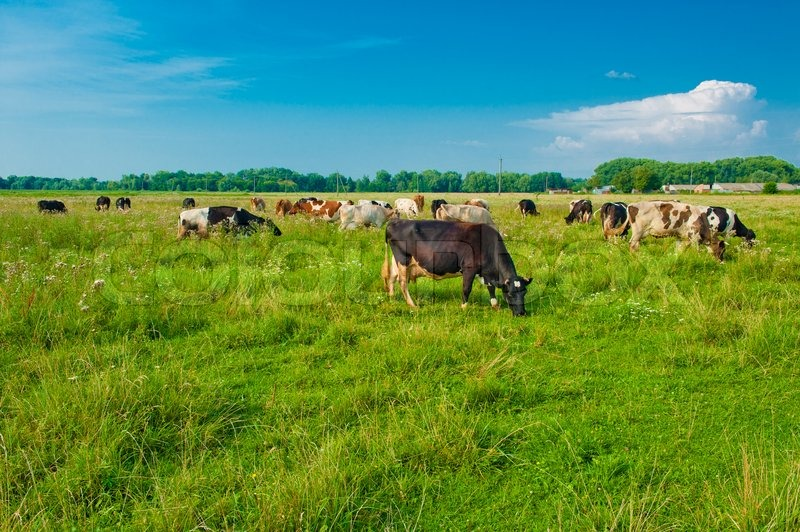 Stock image of 'Grazing cows'