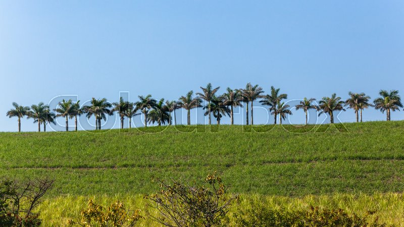 Palm trees lined along pathway on farmland hilltop landscape with blue sky, stock photo