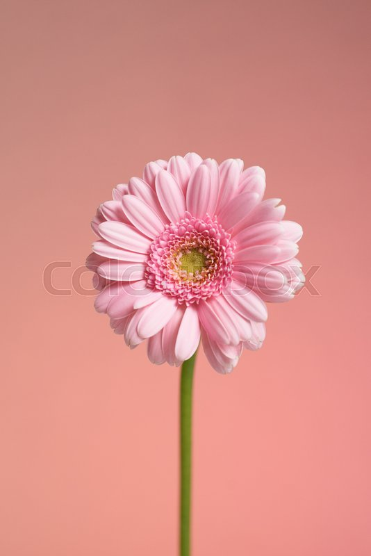 Single pink Gerbera flower - serie, stock photo