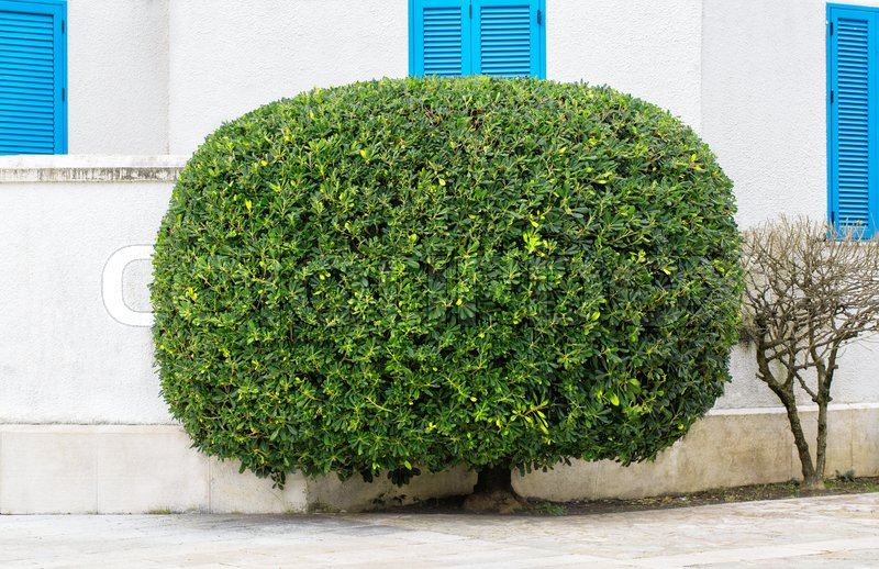 Shaped trimmed oval bush against the backdrop of the walls of an authentic Greek house with blue windows, stock photo