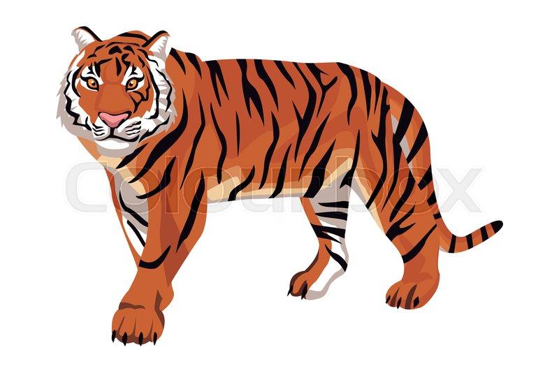 Wild bengal tiger cartoon isolated       Stock vector