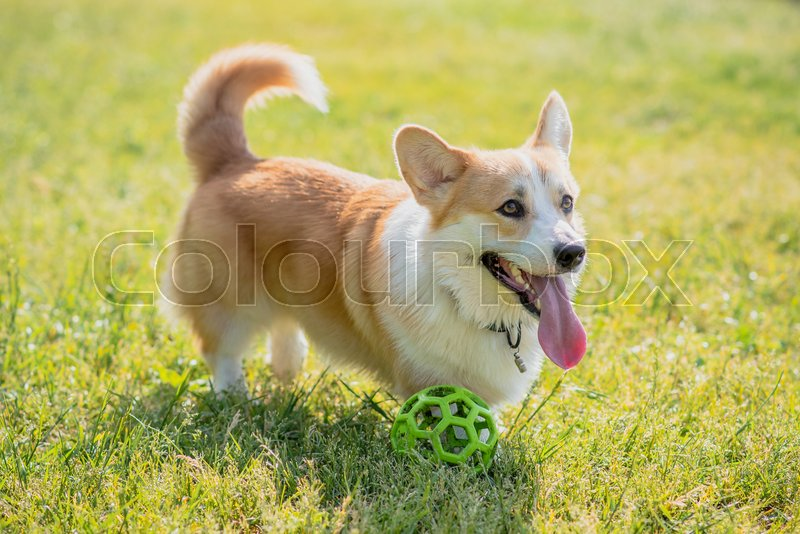 Dog breeds corgi walking on the lawn in the afternoon with a ball, stock photo