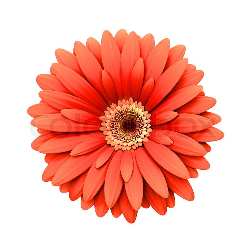Beautiful pink flowers in the garden stock photography image - Red Daisy Flower Isolated 3d Render Stock Photo
