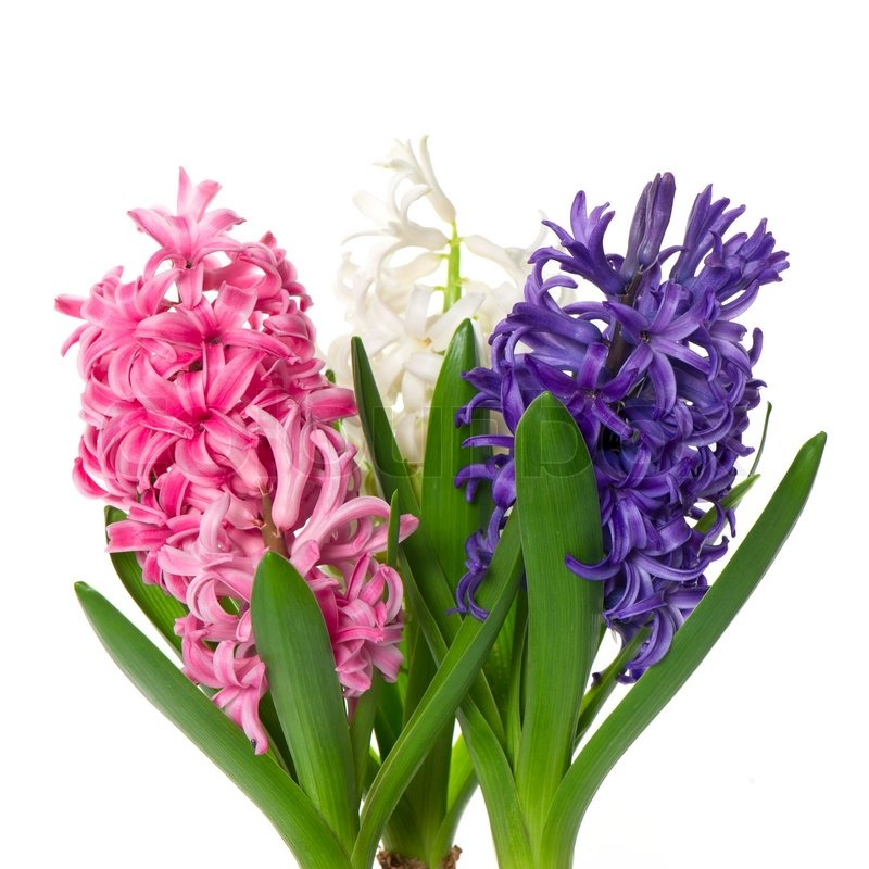 fresh hyacinth flowers and leaves on white background stock photo