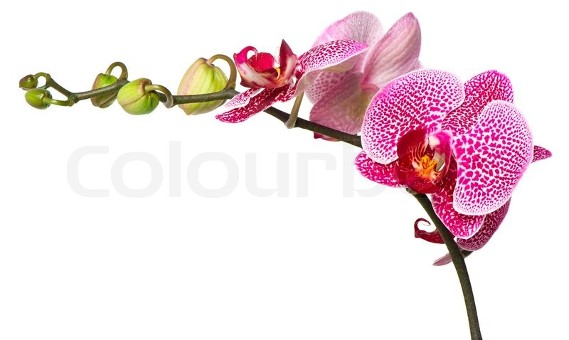 buy stock photos of orchid  colourbox, Beautiful flower