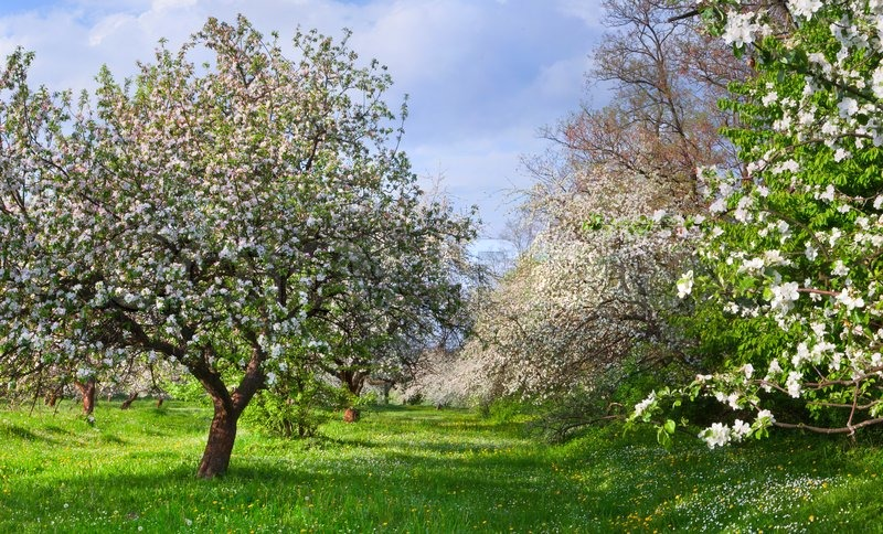Blossom apple-trees garden at the spring Sunny day | Stock Photo ...