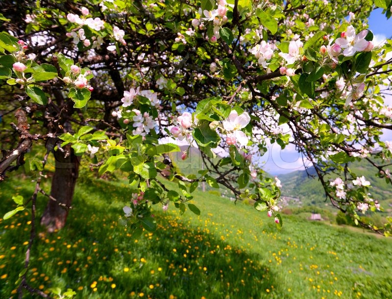 blossom apple tree in the mountains village at the spring. Black Bedroom Furniture Sets. Home Design Ideas