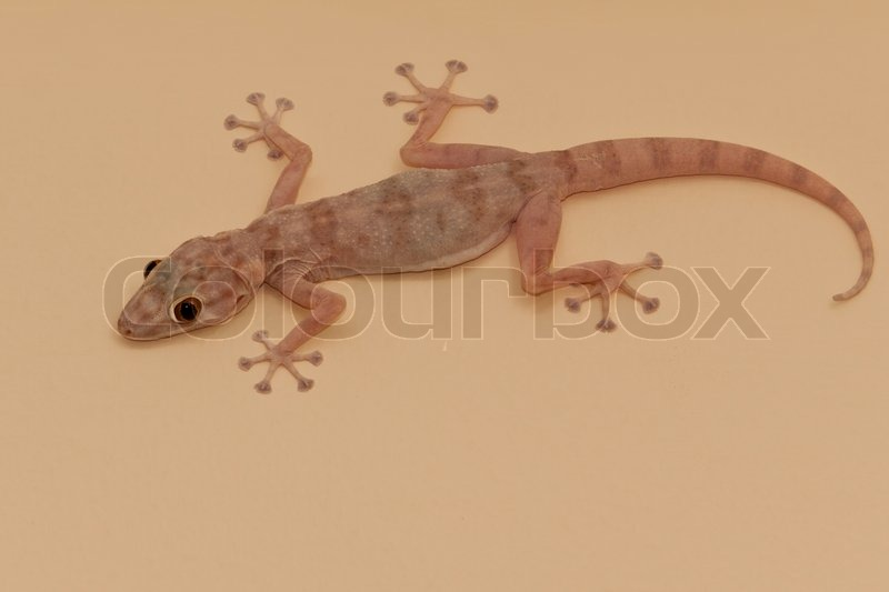 gecko lizard stock photo colourbox. Black Bedroom Furniture Sets. Home Design Ideas