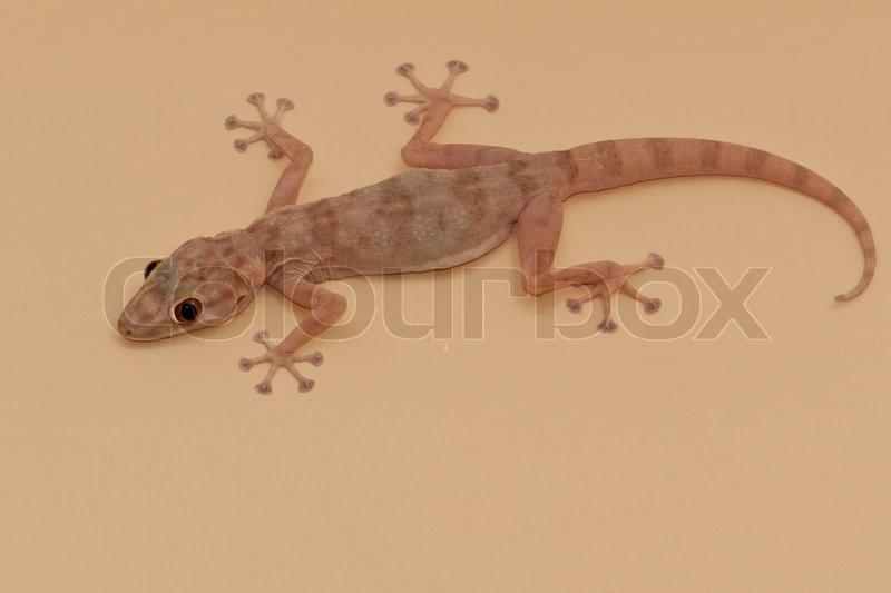 gecko lizard stock photo colourbox. Black Bedroom Furniture Sets. Home Design Ideas