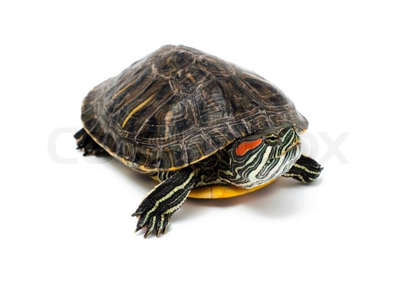 turtle on white background stock photo colourbox